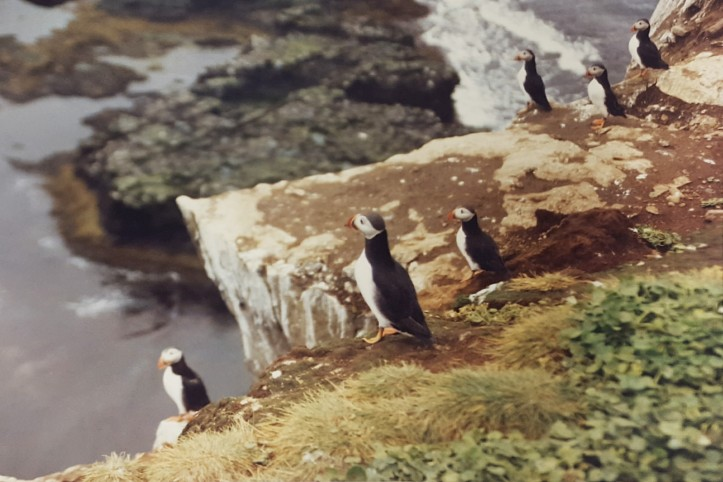 puffins-on-grimsey-island-1991