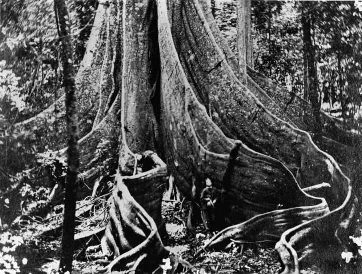 Person standing at the base of a large fig tree, Fig Tree Pocket, Brisbane, 1866 The trunk of an immense fig tree in the scrub fringing the Brisbane River a